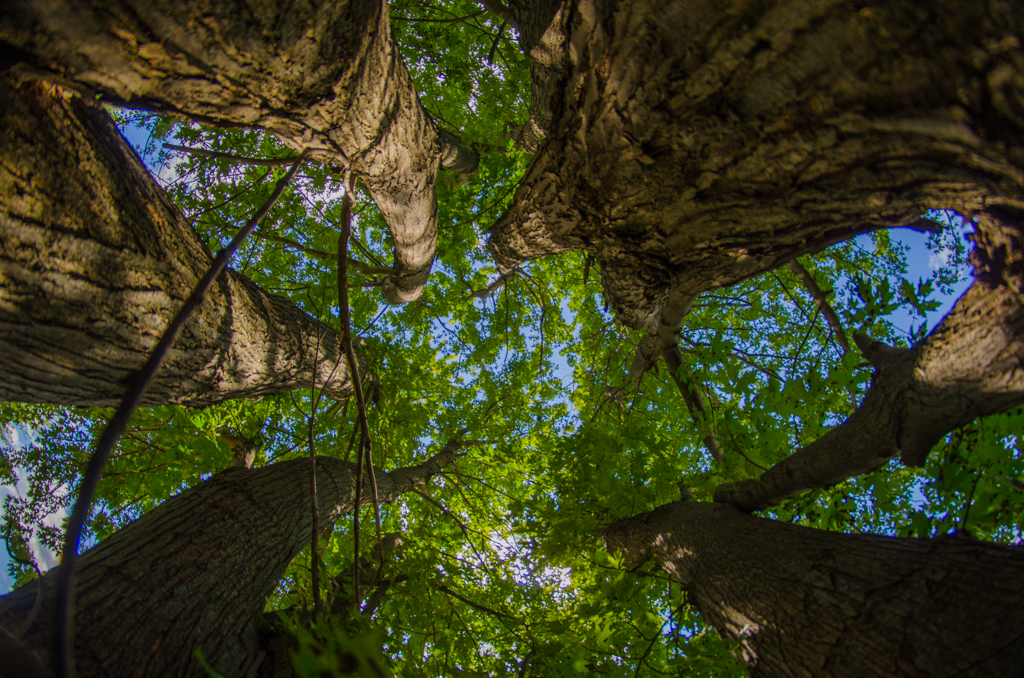 Looking up through the tops of high trees in daytime